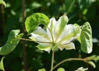 Clematis GREEN PASSION PBR Zo11050